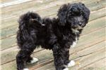 Picture of Chanel - Poodle
