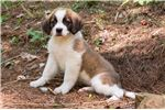 Picture of Maple - Female St. Bernard Puppy