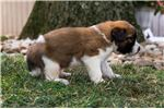Picture of Gus - Male St. Bernard Puppy