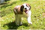 Picture of Cromwell - St. Bernard Puppy
