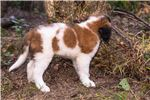 Picture of Polly - St. Bernard