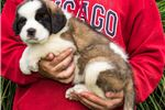 Picture of Rosie - St. Bernard Puppy