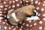 Picture of Maggie - St. Bernard