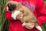 Picture of Lola - St. Bernard Puppy