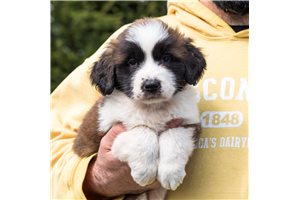 Saint Bernard St Bernards for sale