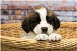 Picture of a Saint Bernard - St. Bernard Puppy