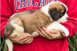 Picture of Chloe - St. Bernard Puppy