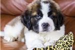 Picture of Male St. Bernard Puppy - Bruno