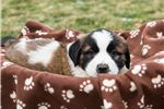 Picture of Molly - St. Bernard