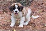 Picture of Glover - St. Bernard Puppy