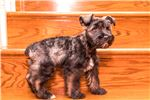Picture of Maks - Schnauzer
