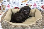 Picture of Puddles - Male Shih Tzu