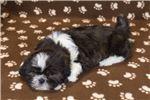 Picture of Tucker - Male Shih Tzu Puppy