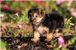 Picture of Treat - Yorkie-chon