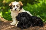 Picture of Teddy - Male Yorkie Poo Puppy