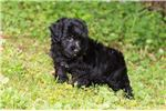 Picture of Buster - Yorkie Poo Puppy