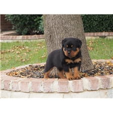 View full profile for Black Hills Rottweilers