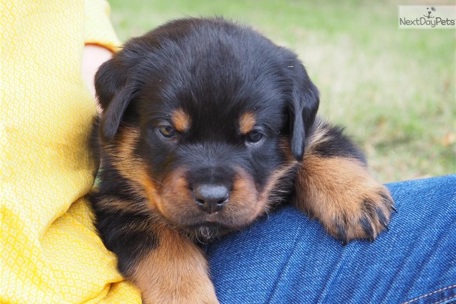 Blue Girl Rottweiler Puppy For Sale Near Dallas Fort Worth Texas