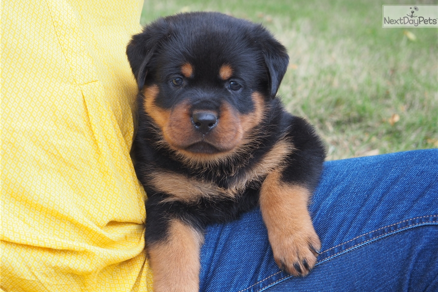 Red Girl Rottweiler Puppy For Sale Near Dallas Fort Worth Texas