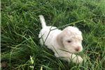 Picture of Beautiful, Pure Bred Lagotto Romagnolo Puppy