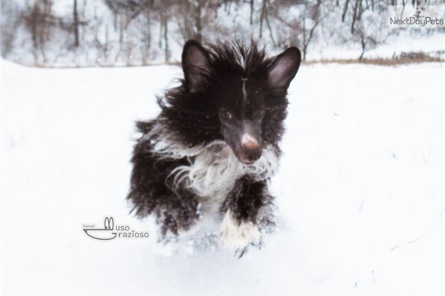 Chibi: Chinese Crested puppy for sale near Ukraine | f2b5202d-01e1