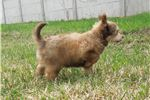 Picture of Light Chocolate Jora looking for loving home