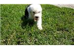 Picture of Old English Sheepdog puppy for sale