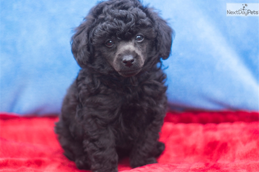 Que Poodle Toy Puppy For Sale Near Pittsburgh