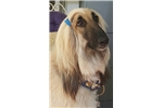 Afghan Hounds for sale