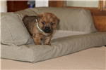 Picture of Fun, smart, AKC registered Norfolk Terrier Puppies
