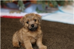 Picture of Female Norfolk Terrier-9 weeks old AKC Registered