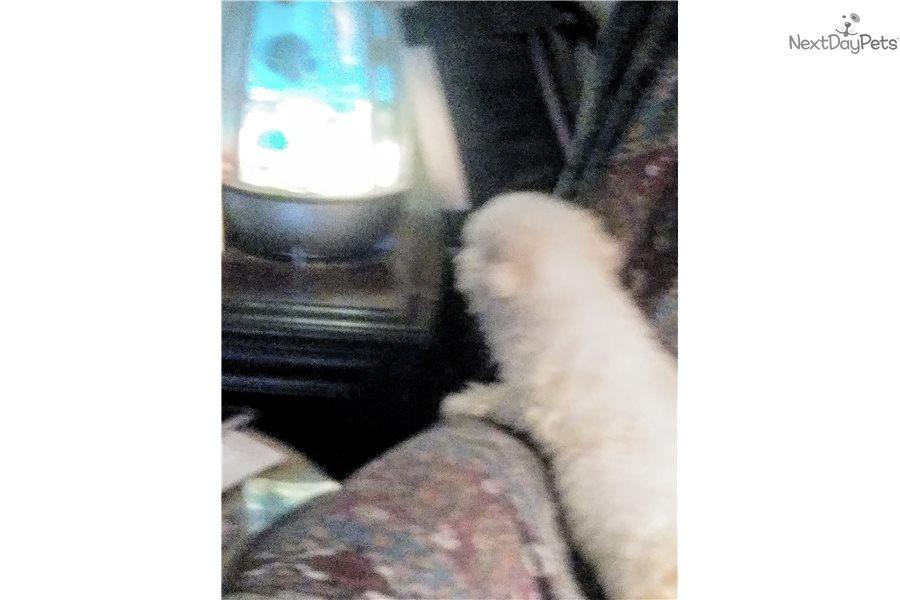 Bella: Bichon Frise puppy for sale near Houston, Texas | 4e75fa5f-d6f1