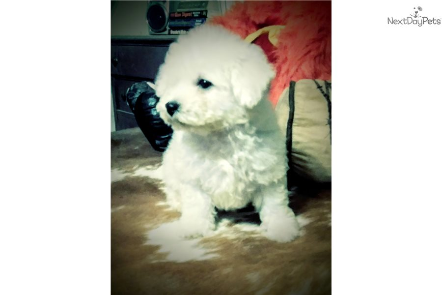 Shelby: Bichon Frise puppy for sale near Houston, Texas