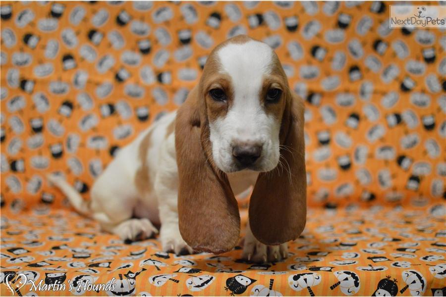 Red Basset Hound Puppy For Sale Near Zanesville Cambridge Ohio
