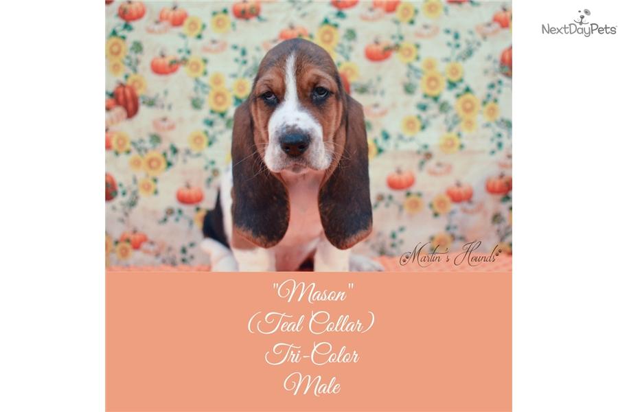 Mason Basset Hound Puppy For Sale Near Zanesville Cambridge Ohio