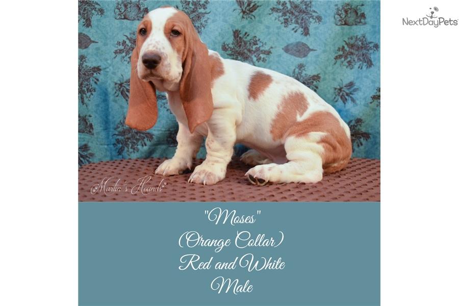Moses Basset Hound Puppy For Sale Near Zanesville Cambridge Ohio