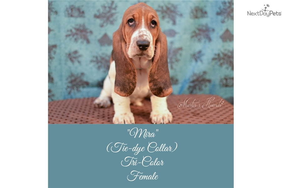 Mira Basset Hound Puppy For Sale Near Zanesville Cambridge Ohio