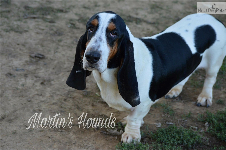 Mater Basset Hound Puppy For Sale Near Zanesville Cambridge Ohio
