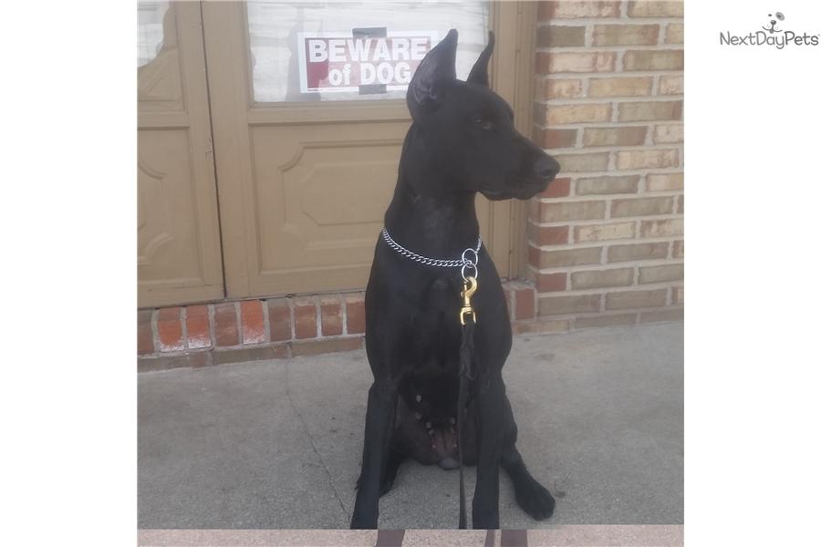 Doberman Pinscher Puppy For Sale Near Ann Arbor Michigan 5d470683