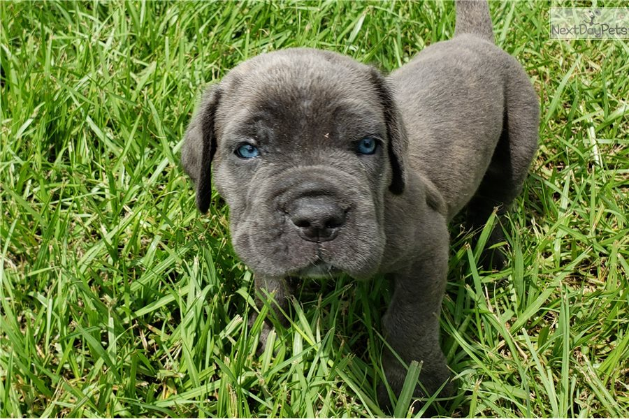 black cane corso puppies for sale in florida
