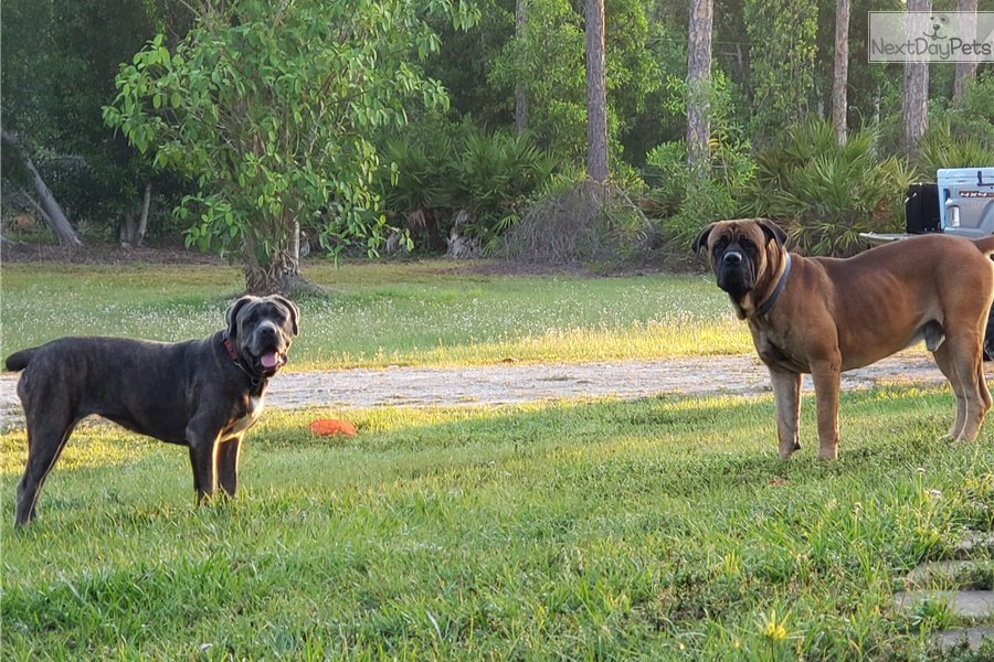 Cane Corso Mastiff puppy for sale near Ft Myers / SW Florida
