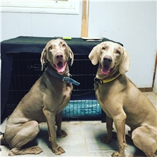 View full profile for Lakeway Weimaraners