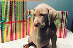 Picture of Lakeway Weimaraners Male Puppy Available