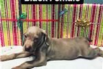 Picture of Lakeway Weimaraners Female Puppy Available