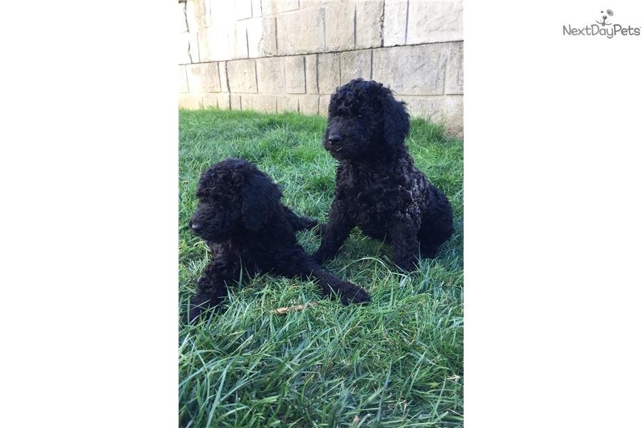 Finn Goldendoodle Puppy For Sale Near Portland Oregon