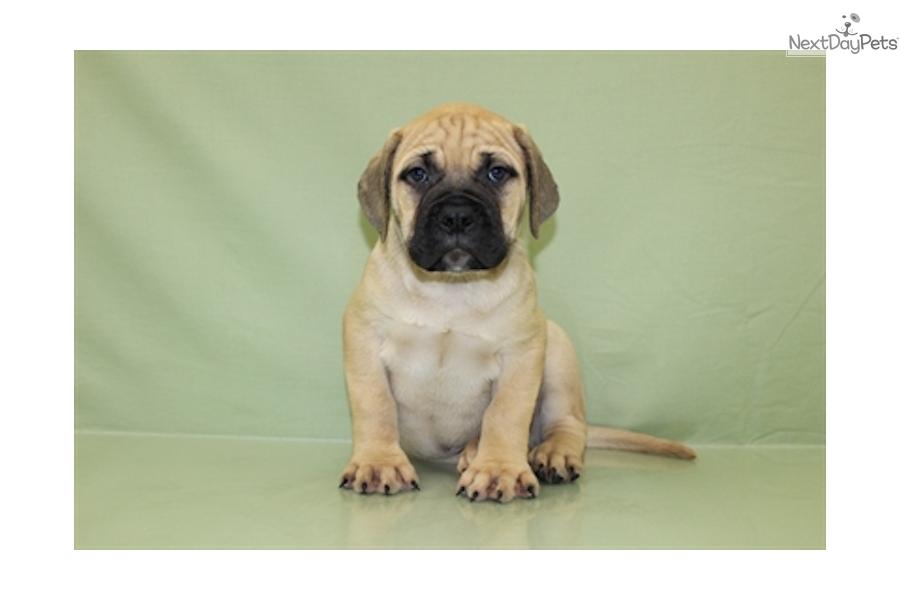 bullmastiff puppies for sale in ohio