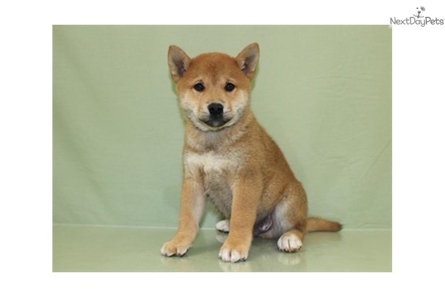 Jasper Shiba Inu Puppy For Sale Near Cleveland Ohio 04bd2191 8a91