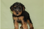 Picture of Welsh Terrier Puppy * Super Rare *