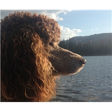 View full profile for Hollow Creek Poodles