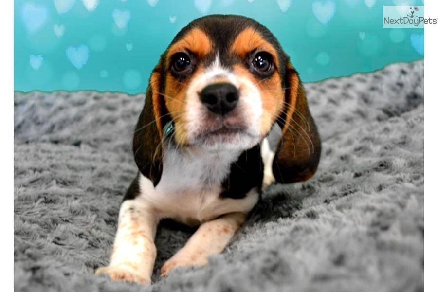 Daisy Beagle Puppy For Sale Near Inland Empire California